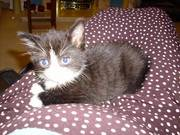 Kittens in Telford
