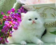 Lovely Persian Kitten for Sale